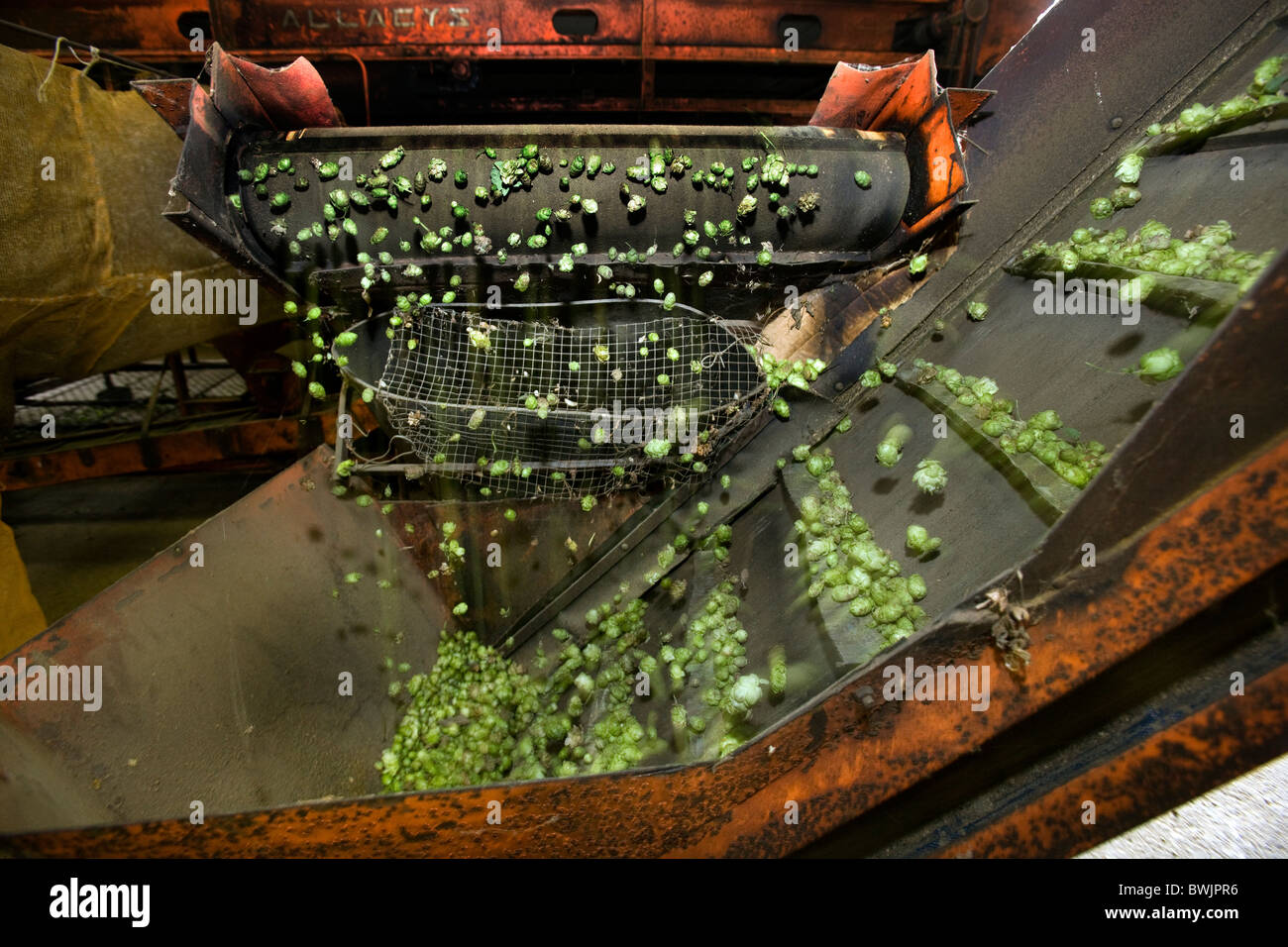 Produktion von Hopfen (Humulus Lupulus), Poperinge, Belgien Stockbild
