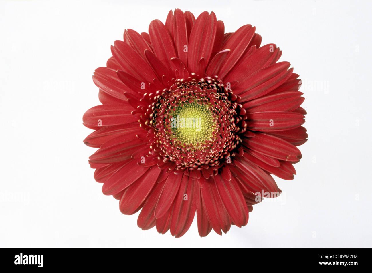 Gerbera (Gerbera-Hybride), rote Blüte, Studio Bild. Stockbild