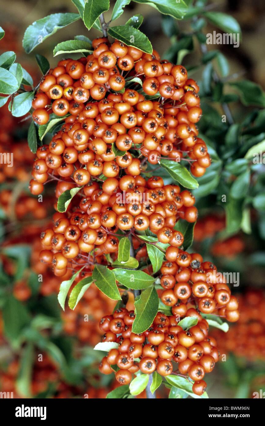 Feuerdorn (Pyracantha SP.), Sorte: Orange Glow, Strauch mit Beeren. Stockfoto