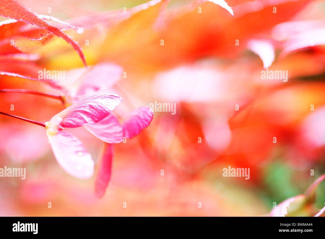 stimmungsvoll und verträumt rot-Ahorn mit geflügelten Samaras Jane Ann Butler Fotografie JABP914 Stockbild