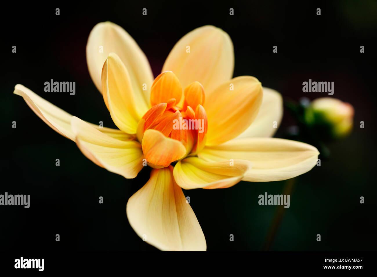 schöne orange Dahlia und Knospe Jane Ann Butler Fotografie JABP922 Stockbild
