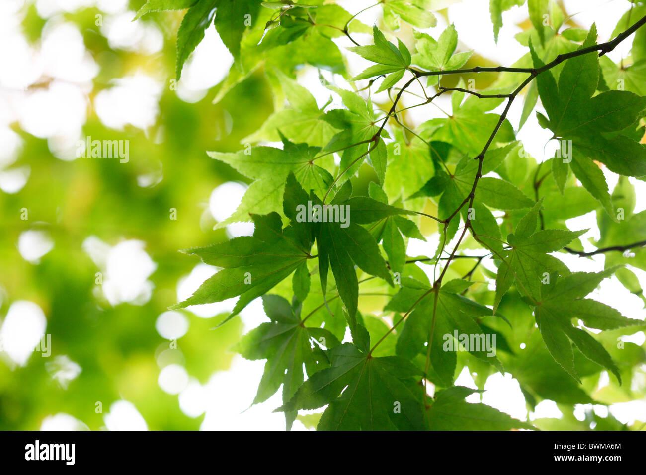 stimmungsvoll und verträumt Ahornbaum mit geflügelten Samaras Jane Ann Butler Fotografie JABP917 Stockbild