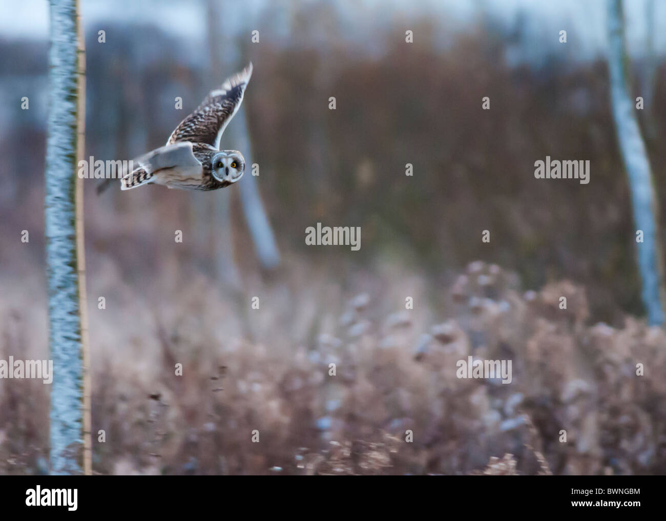 Wilde Short Eared Owl-Jagd über grobe Grasland in Leicestershire Stockbild