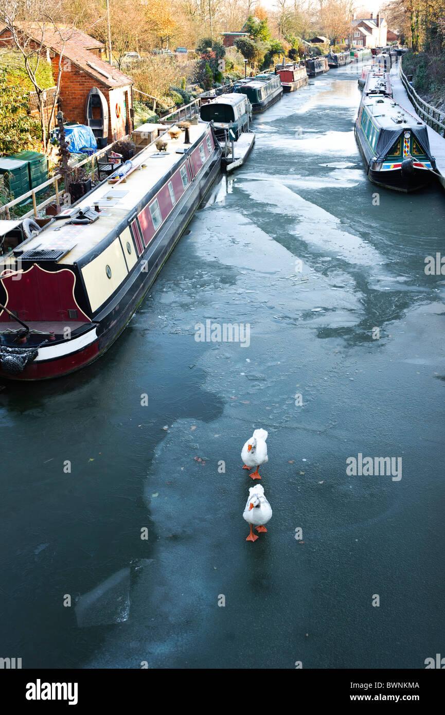 Zwei Gänse zu Fuß auf einem zugefrorenen Kanal umgeben von Kanalboote, Grand Union Canal, Warwick, Warwickshire, Stockbild