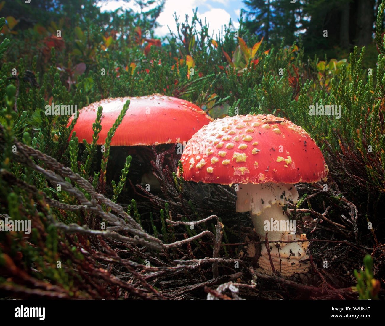 Fliegenpilz, Amanita Muscaria Pilze in der Mount Baker Wildnis im Staat Washington, USA Stockfoto