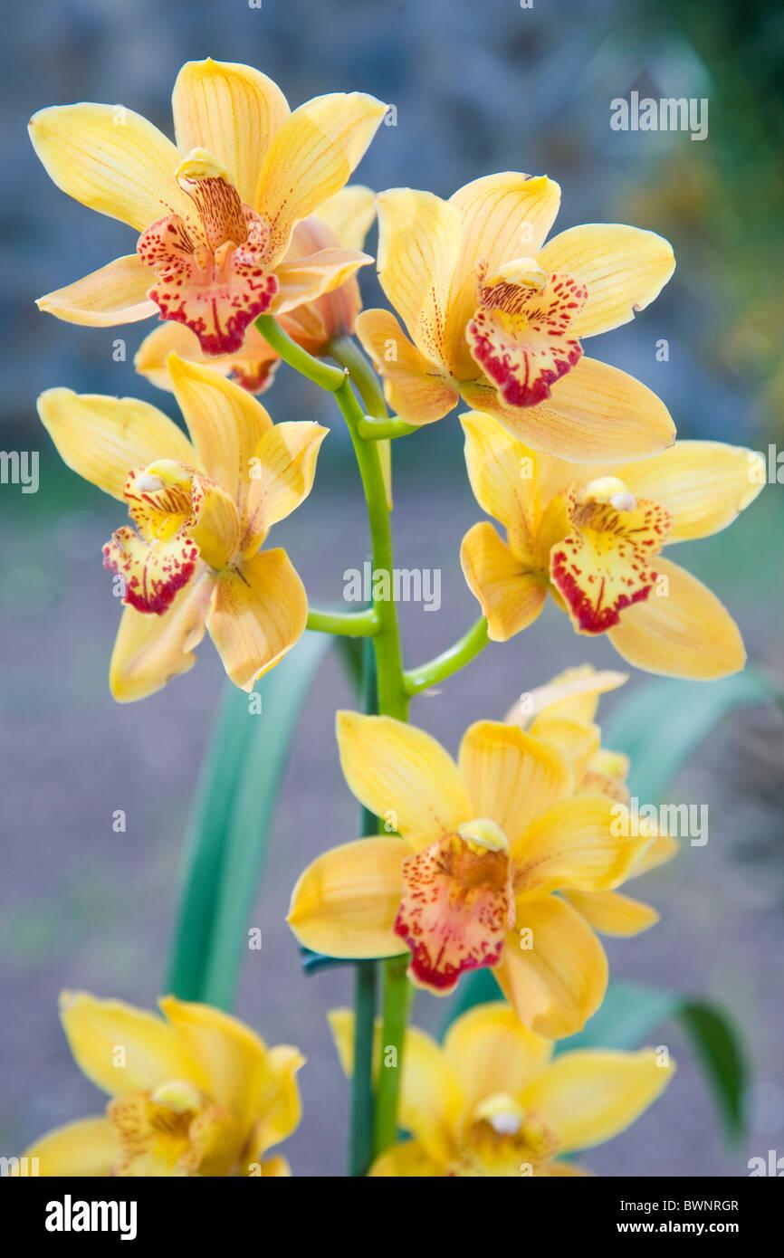 Gelbe Cybmidium Orchideen Stockbild