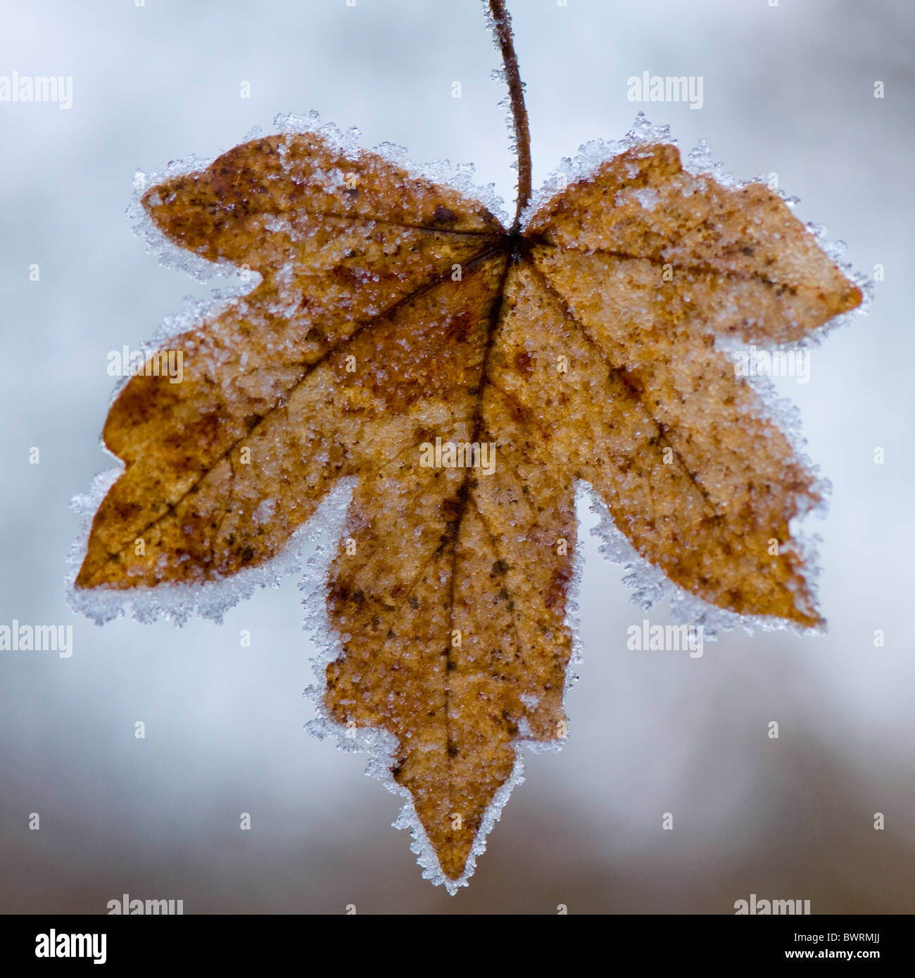 Ein einzelnes Ahornblatt bedeckt in frost Stockbild