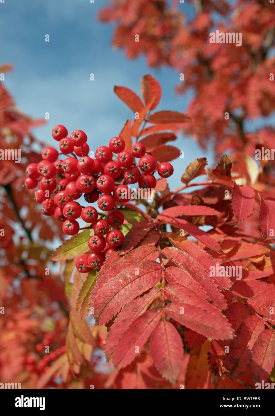 Pflanzen Im September rowan sorbus aucuparia herbst farben september finnland pihlaja