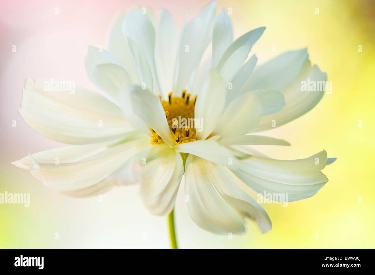 Eine einzelne weiße Cosmos Blume 'Psyche White' - Cosmea Bipinnatus Stockbild