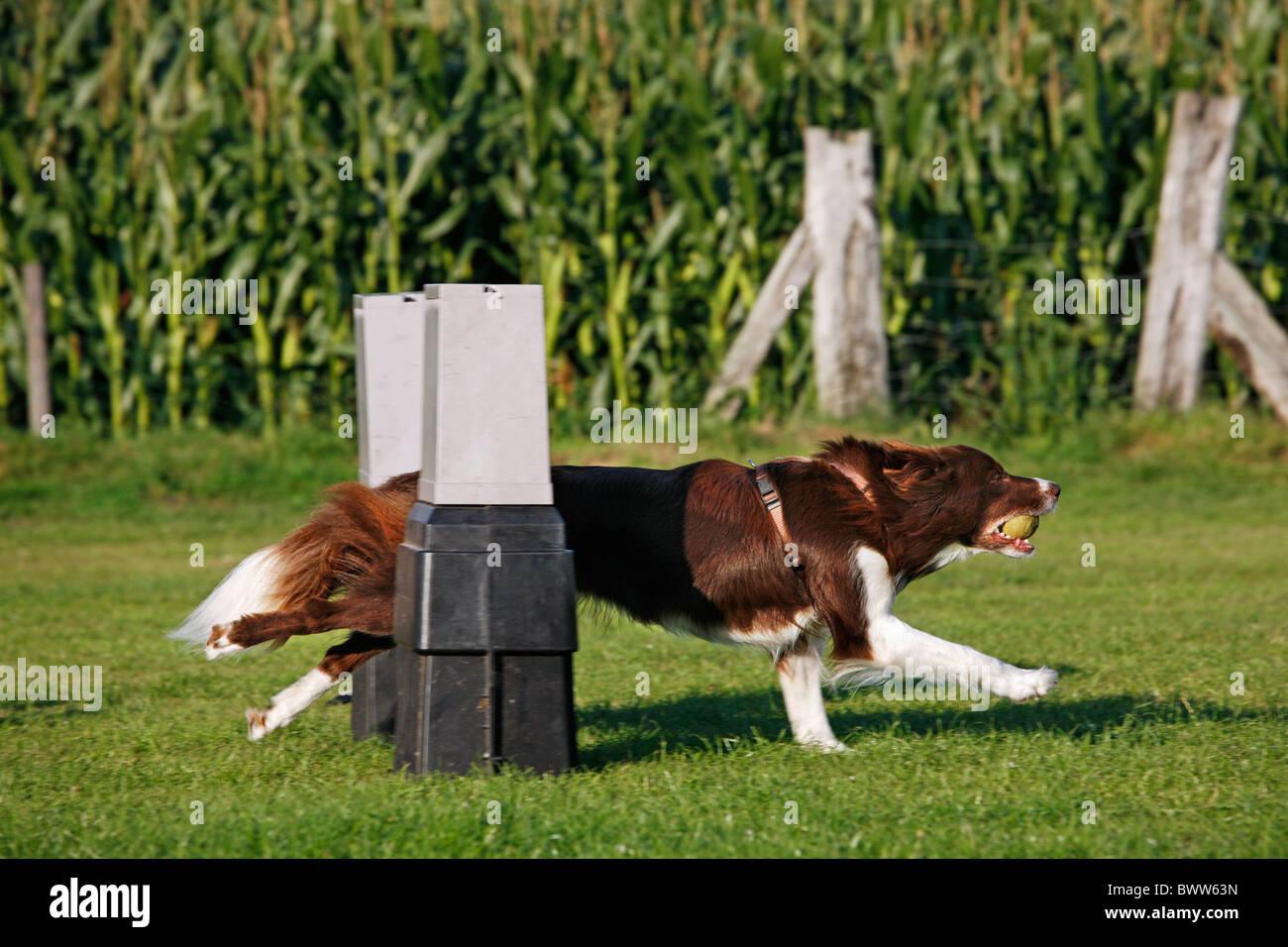 Border Collie (Canis Lupus Familiaris) mit Ball im Mund springen über die Hürde beim Flyball-Wettbewerb Stockbild