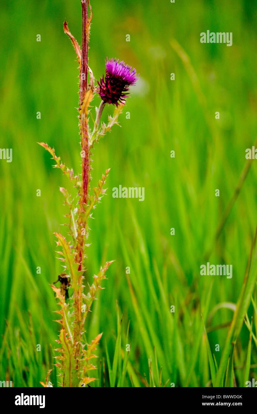 hohen Wilde Gräser grün lila Distel Stockfoto