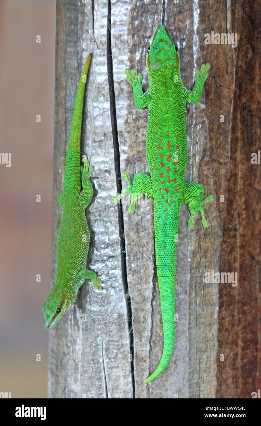 Taggecko Michael gore Madagaskar endemischen Arten Gecko Geckos Reptil Reptilien Eidechse Eidechsen Tier Tiere Madagaskar Stockbild