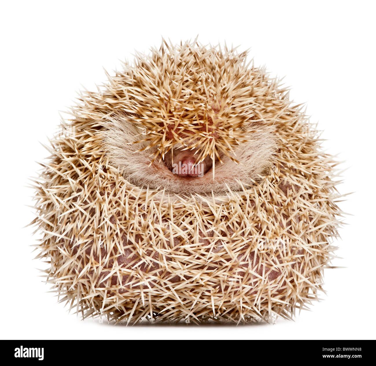 Vier-toed Hedgehog, Atelerix Albiventris, 2 Jahre alt, ballte sich vor weißem Hintergrund Stockbild