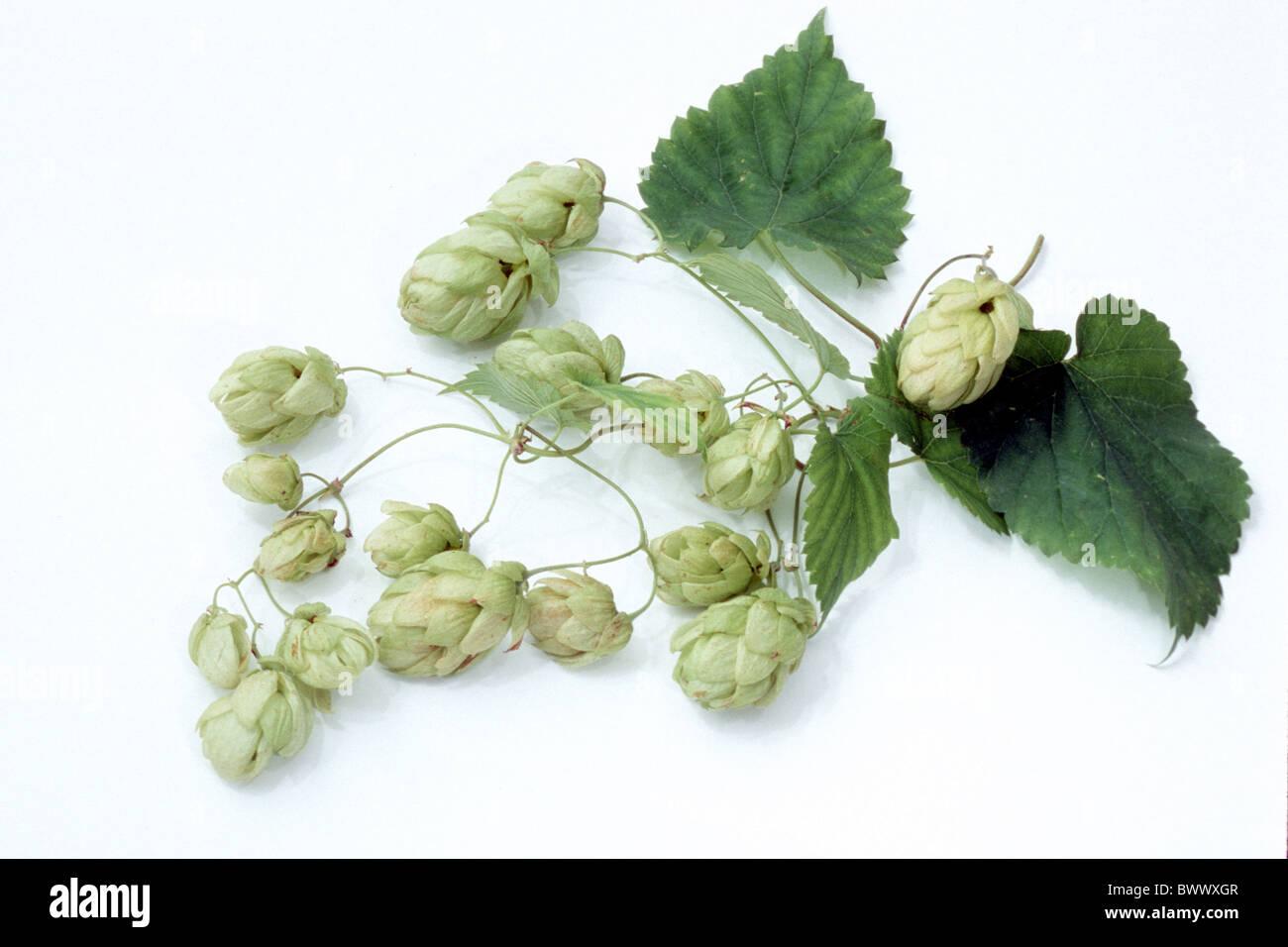 Gemeinsamen Hopfen (Humulus Lupulus), Ranke mit Blättern und Früchten, Studio Bild. Stockbild