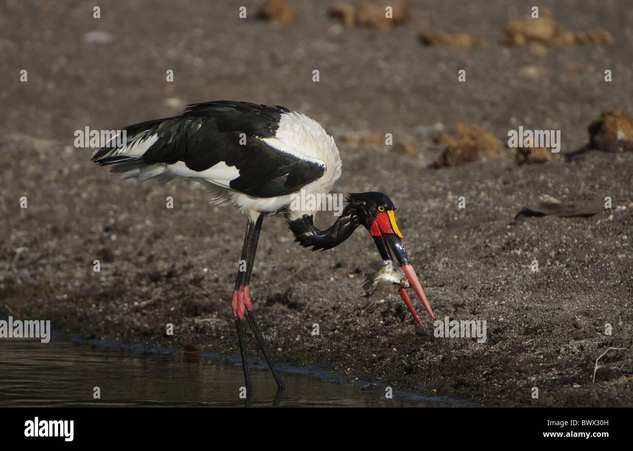 Erwachsenes Weibchen Sattel – abgerechnet Stork (Nahrung Senegalensis), ernähren sich von Fischen, Mashatu Wildreservat, Stockfoto
