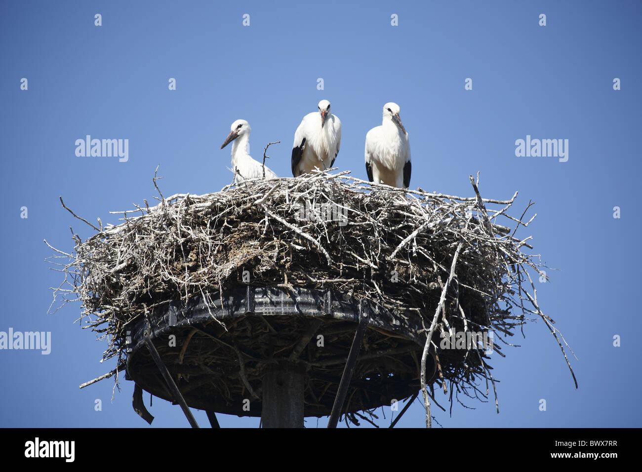Storch Storch Stockbild