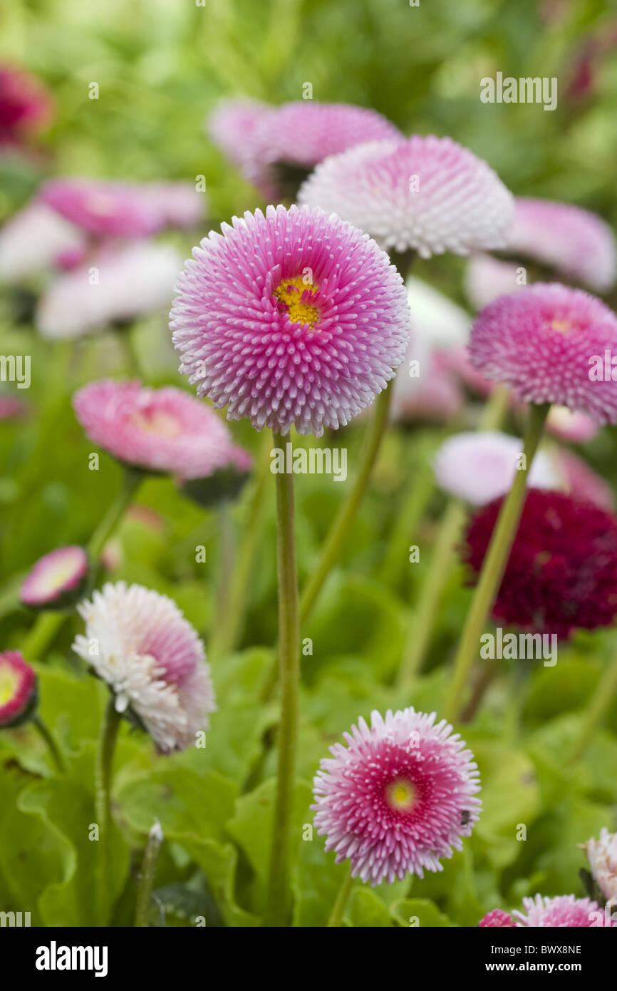 Ganseblumchen Ganseblumchen Bellis Perennis Close Up Closeup Garten