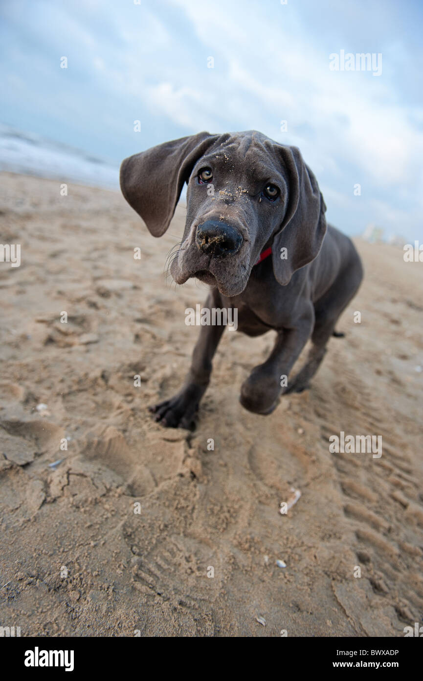 Wunderschöne Deutsche Dogge Welpe am Strand Stockbild