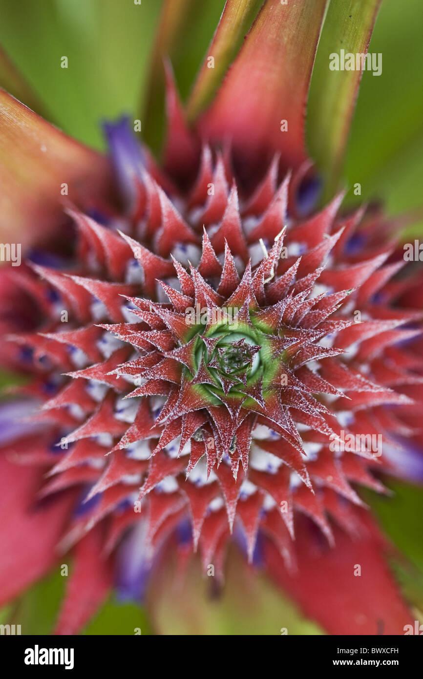 Asiatische Pflanzen archipel asien asiatische blüte blüht bromeliaceae bromelie