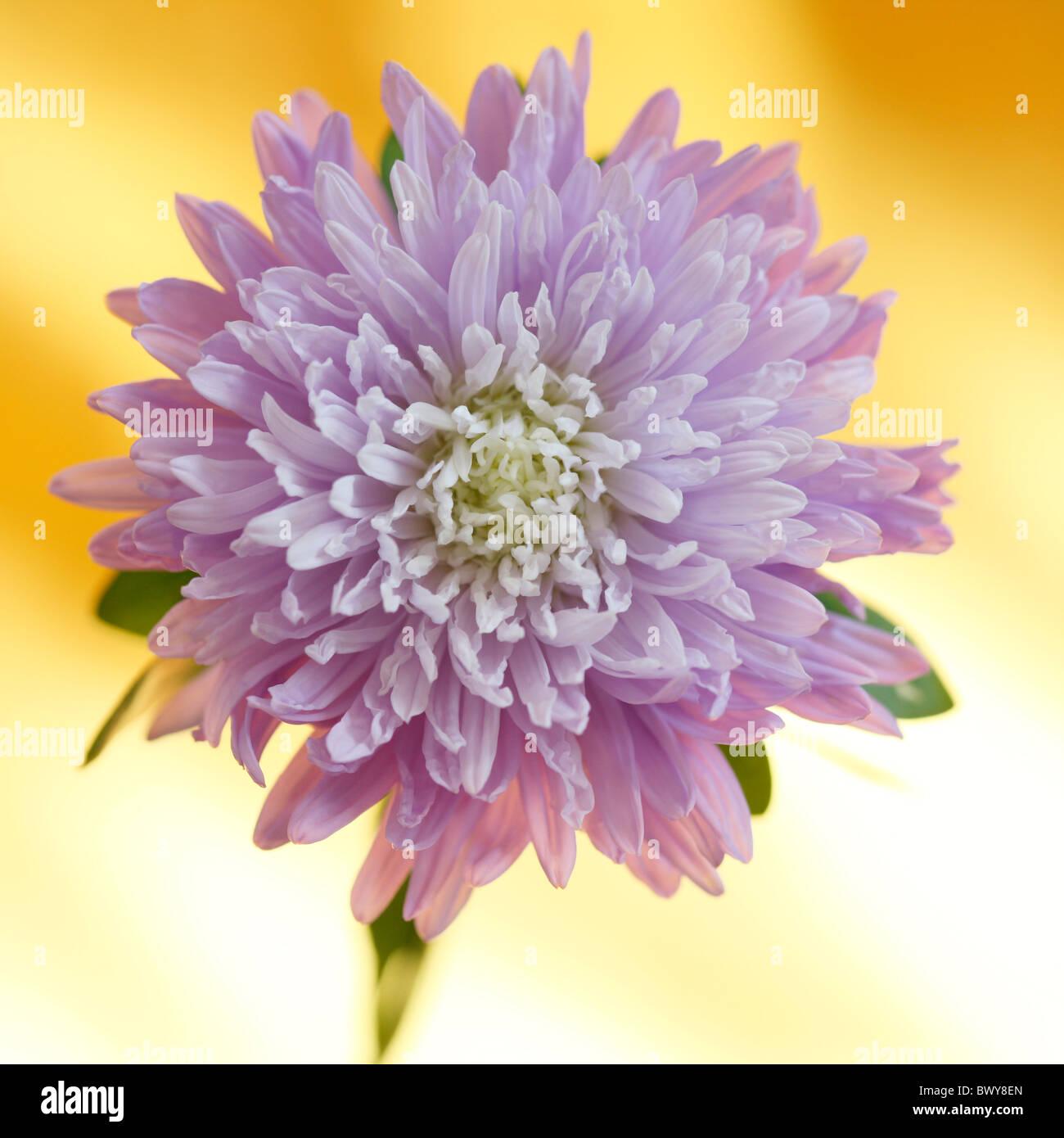 wunderschöne lila Aster in voller Blüte Jane Ann Butler Fotografie JABP872 Stockbild