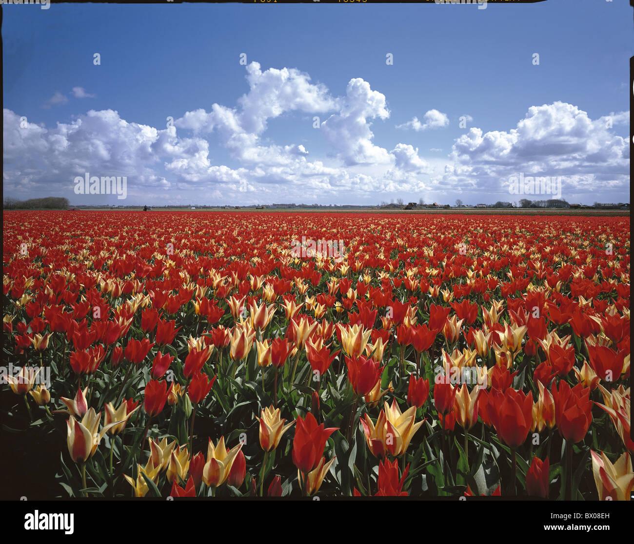 Blumen Blume Feld Egmond im Bereich Holland Landschaft Landwirtschaft Niederlande Tulpen Tulpen Feld Wolke Stockbild