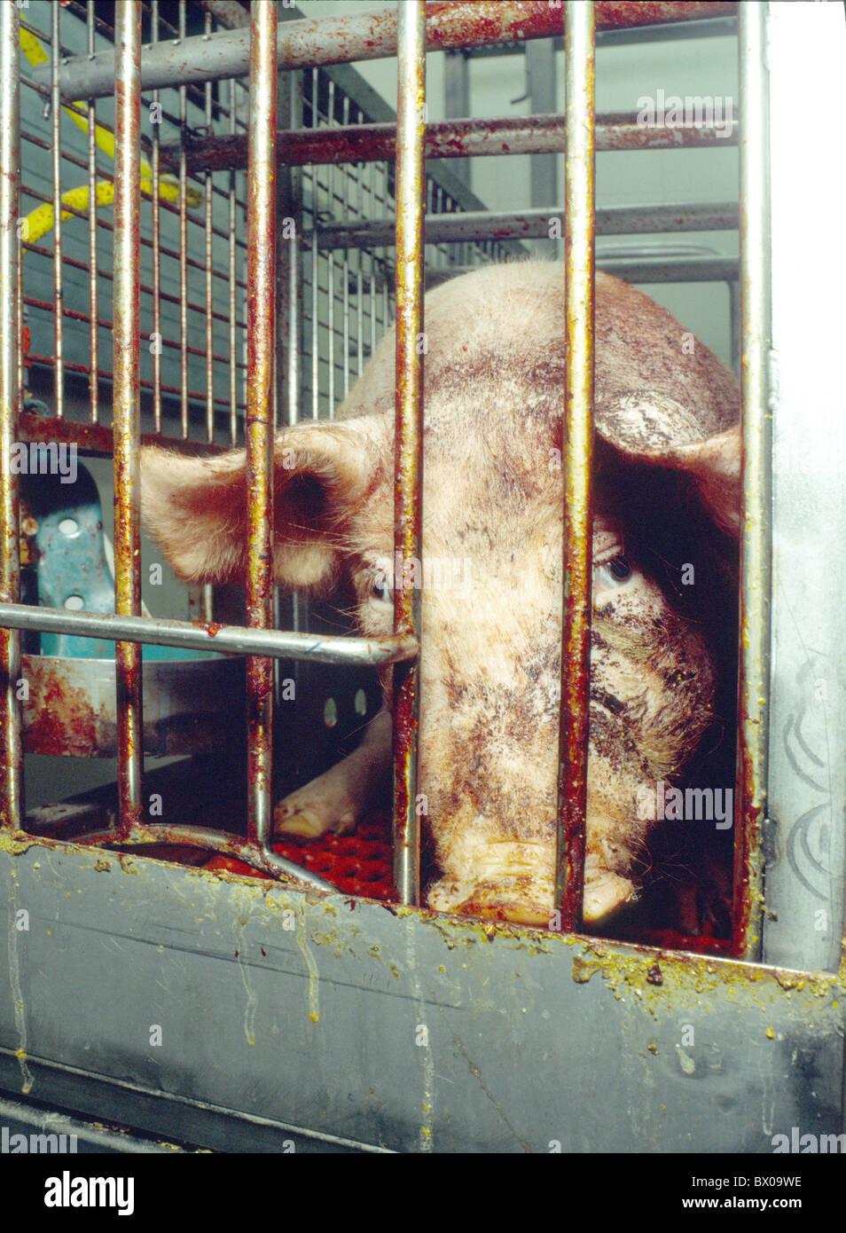 Haltung von Haustieren Viehzucht problematisch Käfig Tier Box Problem ausgeschlossen Angst Emotion Erschöpfung rese Stockfoto