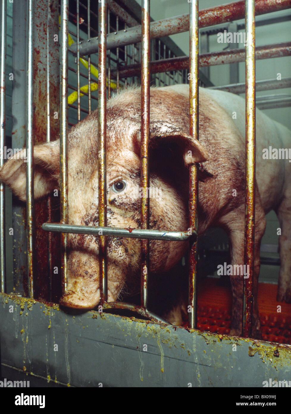 Haltung von Haustieren Viehzucht problematisch Käfig Tier Box verjährt Angst Emotion Erschöpfung Stockbild
