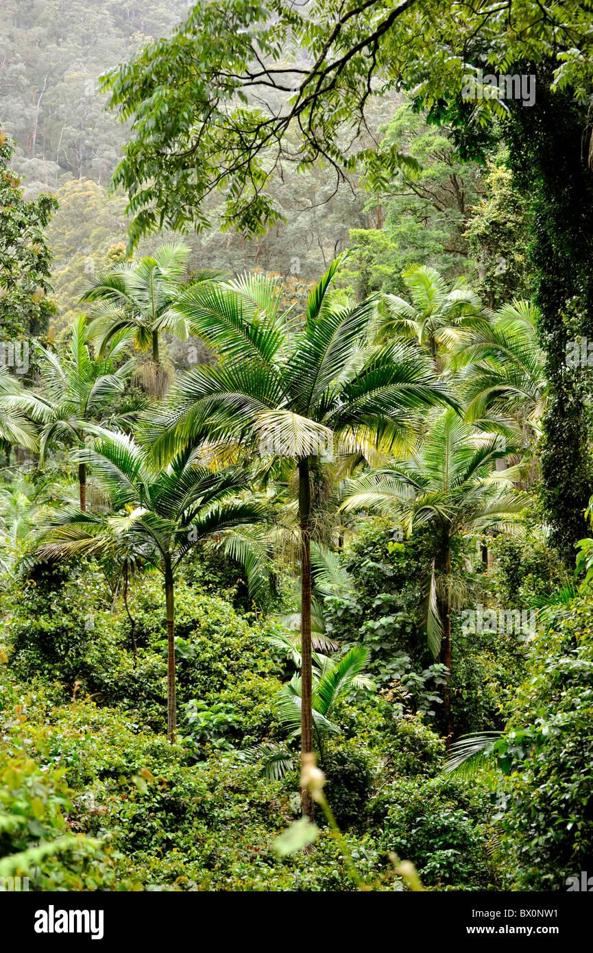 Bangalow Palmen im australischen Regenwald Stockbild