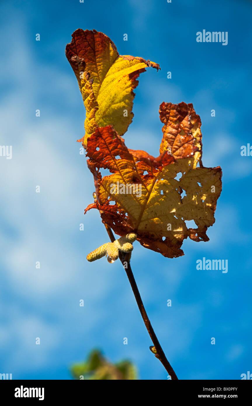 Dying Leaf Stockfotos & Dying Leaf Bilder - Alamy