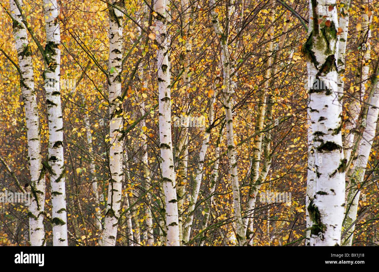 Birkenholz Farbe birke wald anordnung böhmen hintergrund hintergründe birke birke