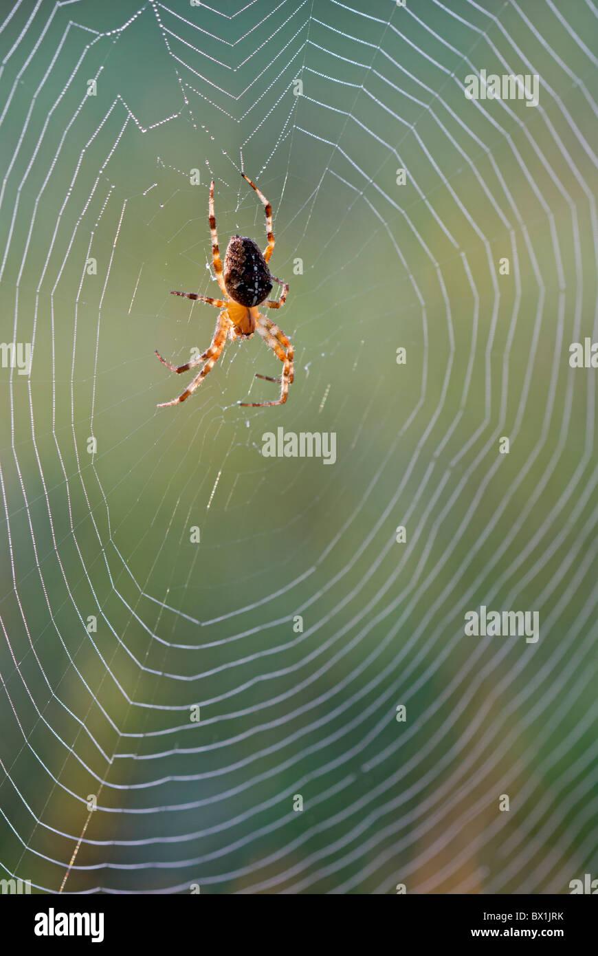 Kreuzspinne in der Mitte seiner Web - Araneus diadematus Stockbild