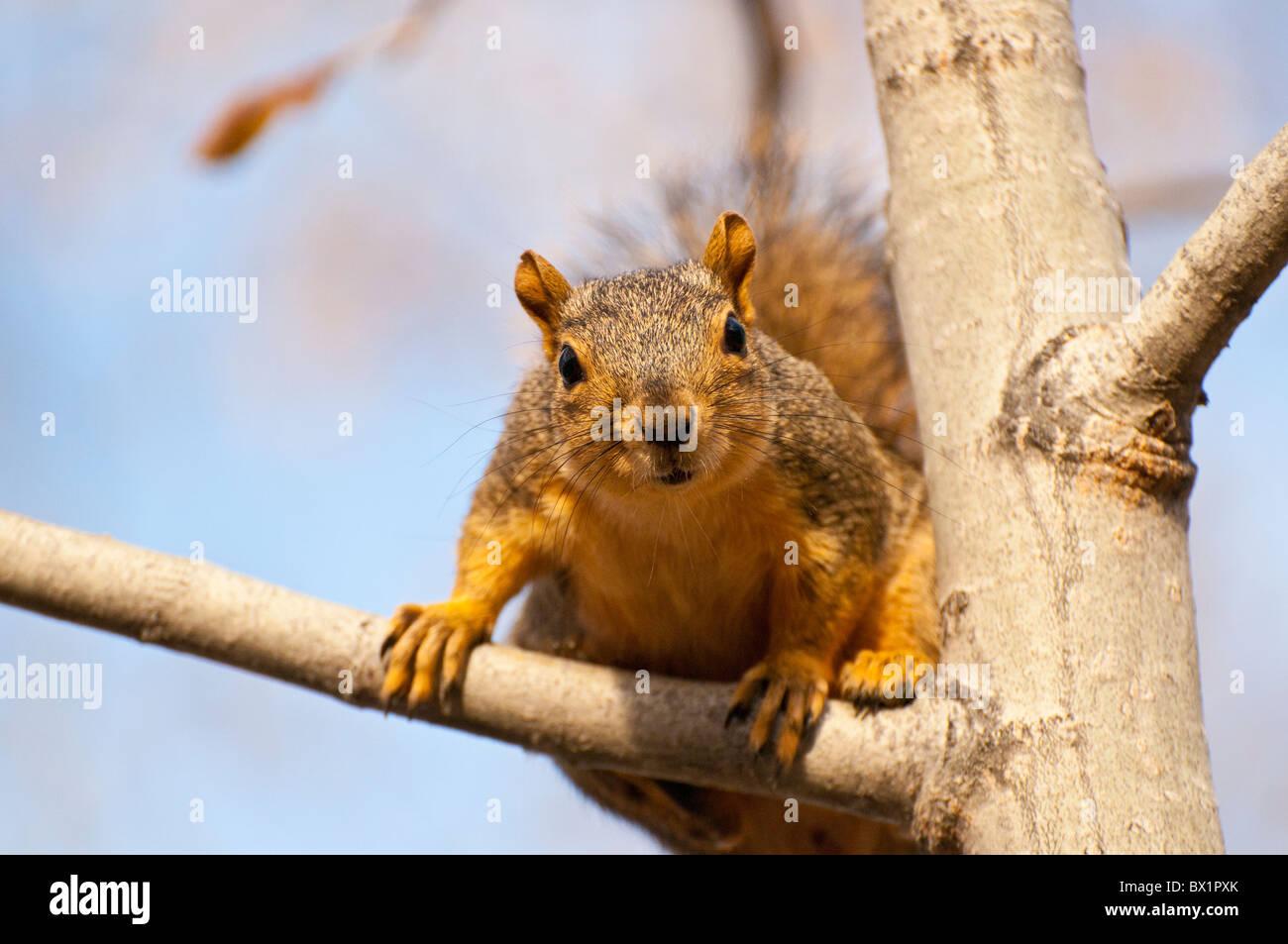 USA, Boise, Idaho, Tierwelt, Brown Eichhörnchen im Baum am Fluss Boise Greenbelt. Stockbild
