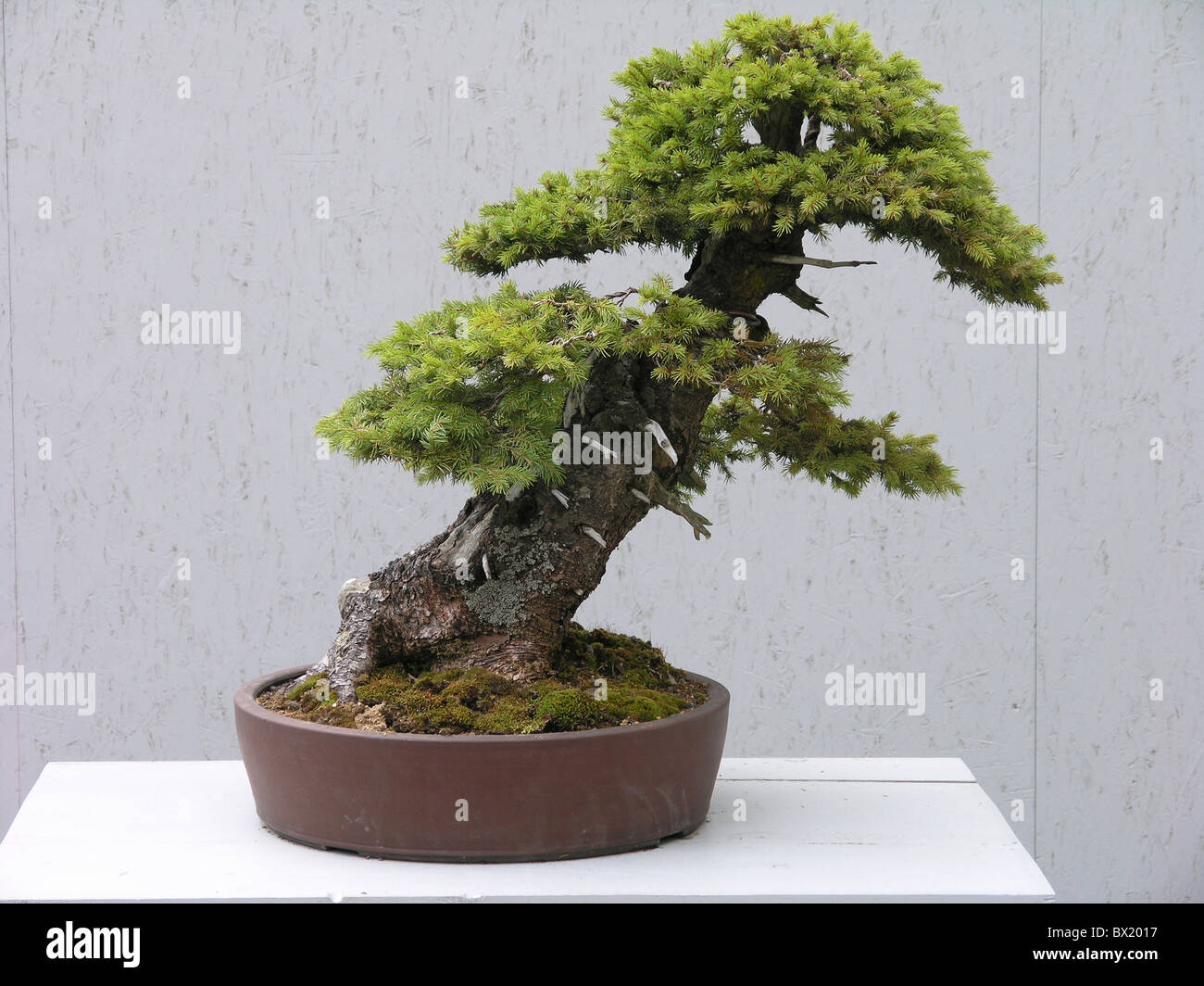 bonsai kleine konifere nadel pflanze topf baum stockfoto bild 33235363 alamy. Black Bedroom Furniture Sets. Home Design Ideas