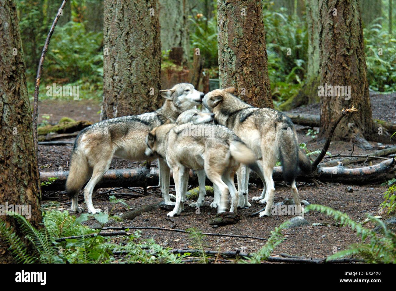 wolf herde