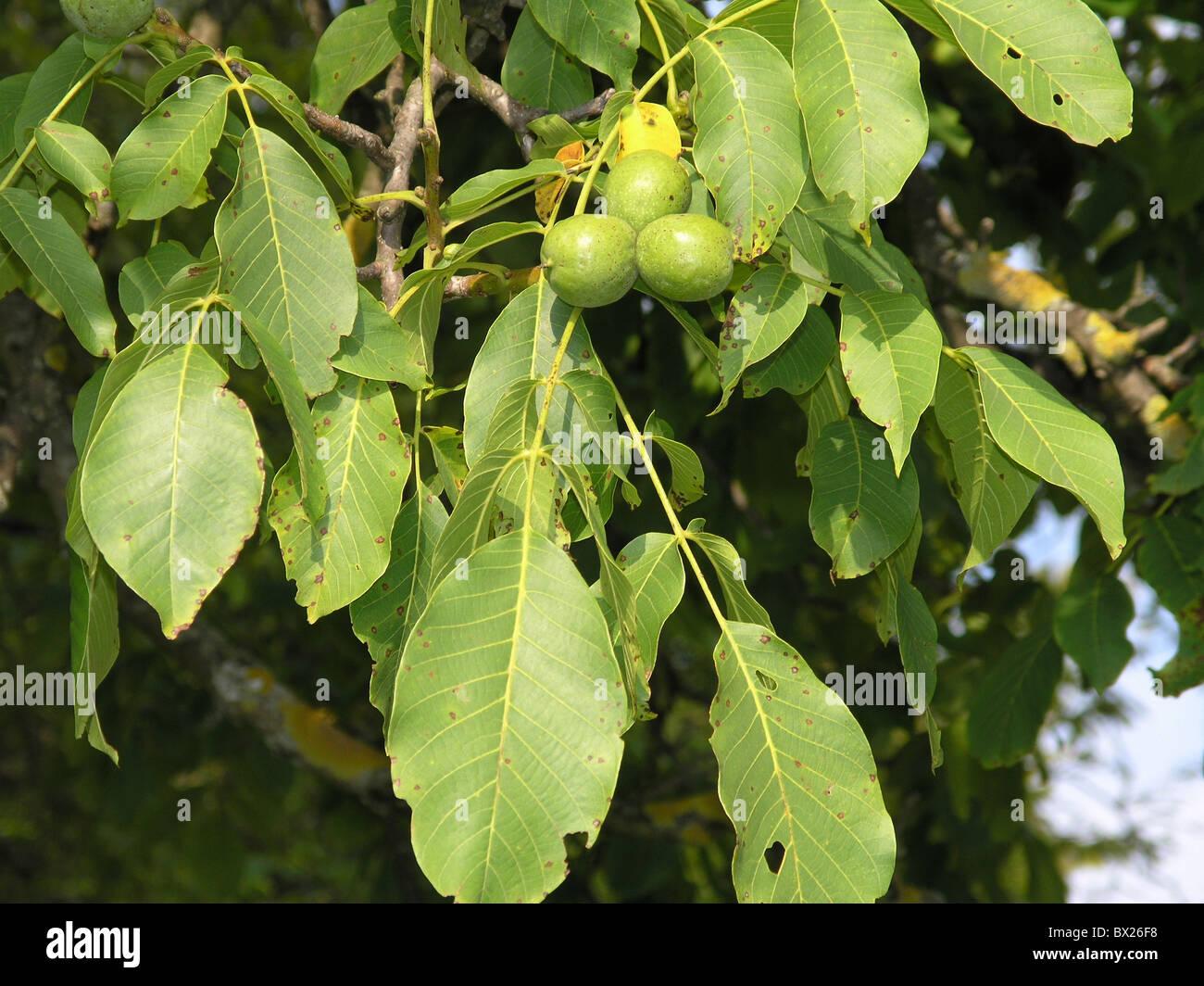 Botanik Farbe Farbe Frucht Juglans Regia Blätter Natur Pflanzen Baum ...