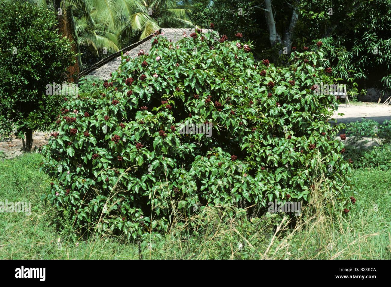 Bixa Farbstoff Pflanze mit reifen Samenkapseln, Kenia Stockbild