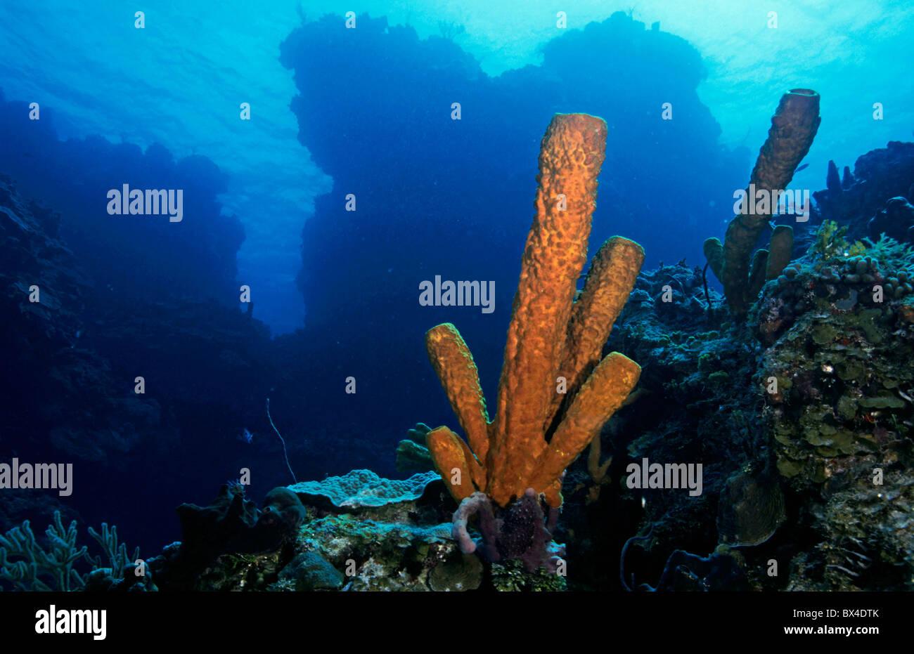 Korallen wachsen auf dem felsigen Palancar Riff, die Insel Cozumel, Mexiko. Stockbild