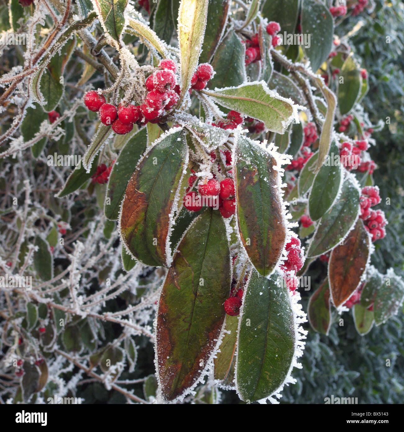 Zwergmispel frigidus 39 cornubia 39 strauch mit roten beeren for Baum mit roten beeren
