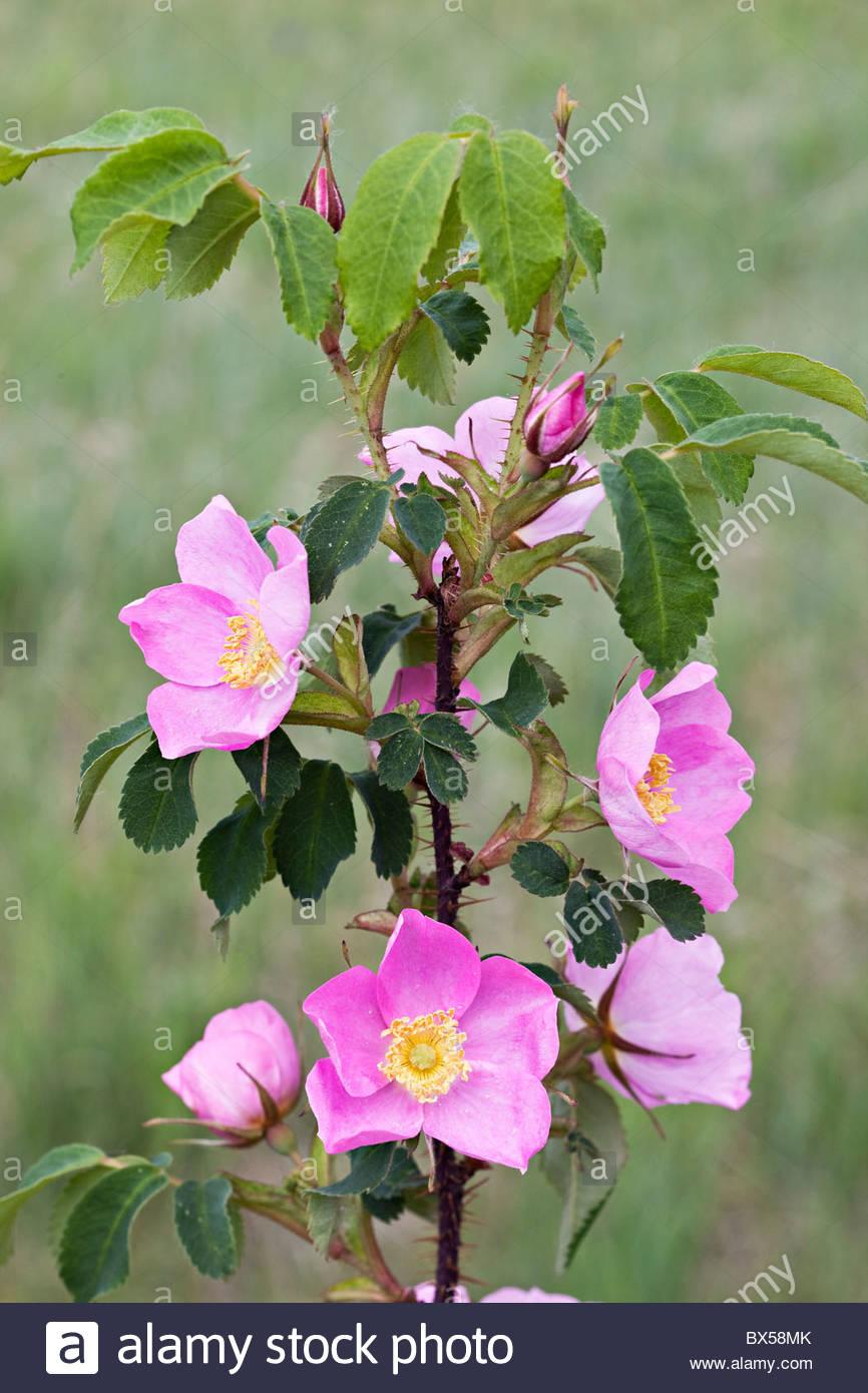 USA, Alaska. Wilde stachelige Rose Zweig (Rosa Acicularis) bedeckt mit zahlreichen zarten rosa Blüten und Knospen Stockfoto