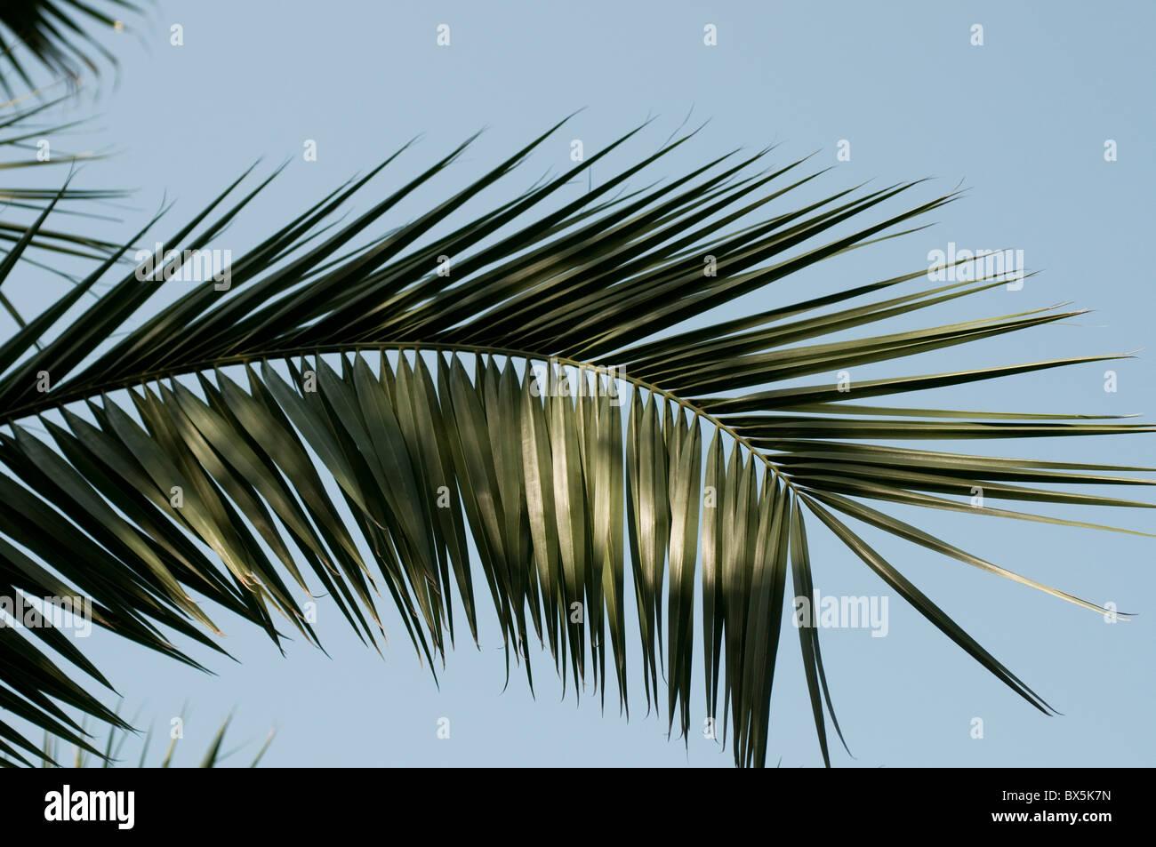 Palmwedel Stockbild