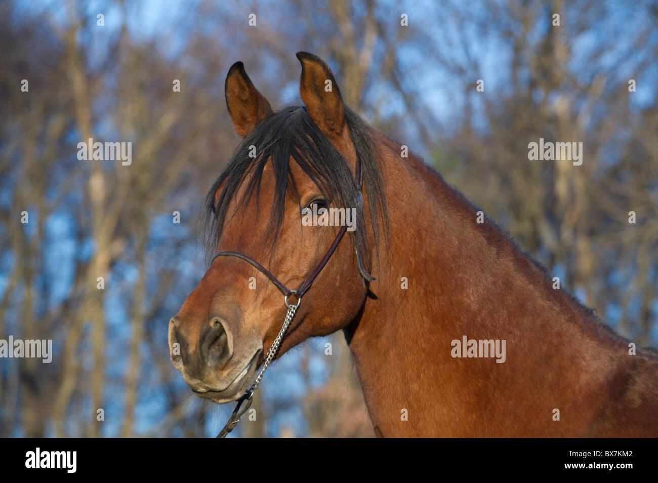 Späten Pferd Goldenes Abend Den Licht Schöne Arabische In 0Ow8Pnk