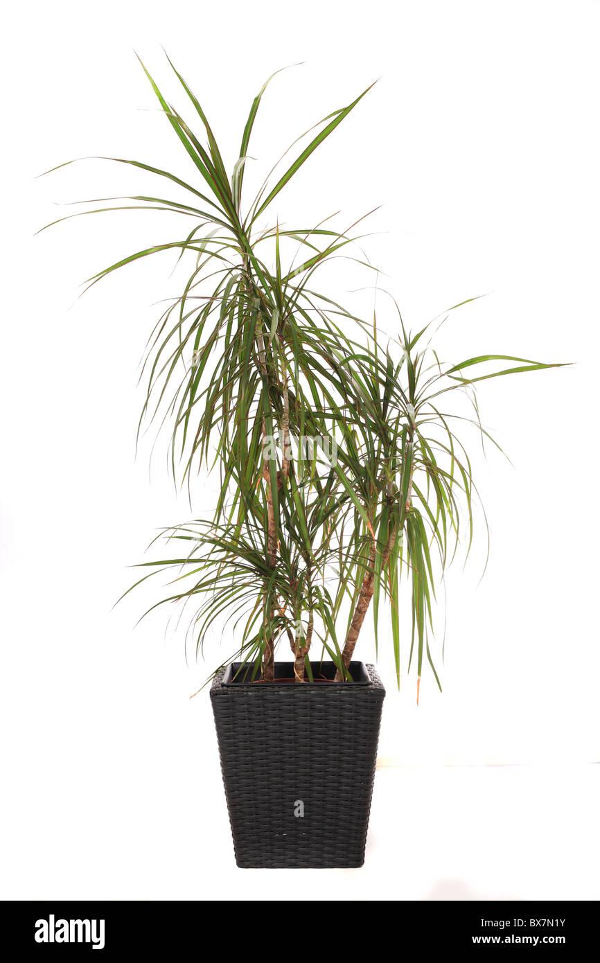 Standard Zimmerpflanze Dracaena Marginata Auch Drachenbaum Genannt