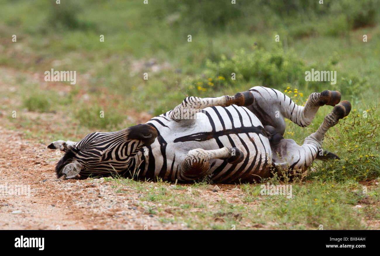 Ebenen oder Burchell Zebra (Equus Quagga) auf dem Boden Rollen Stockfoto