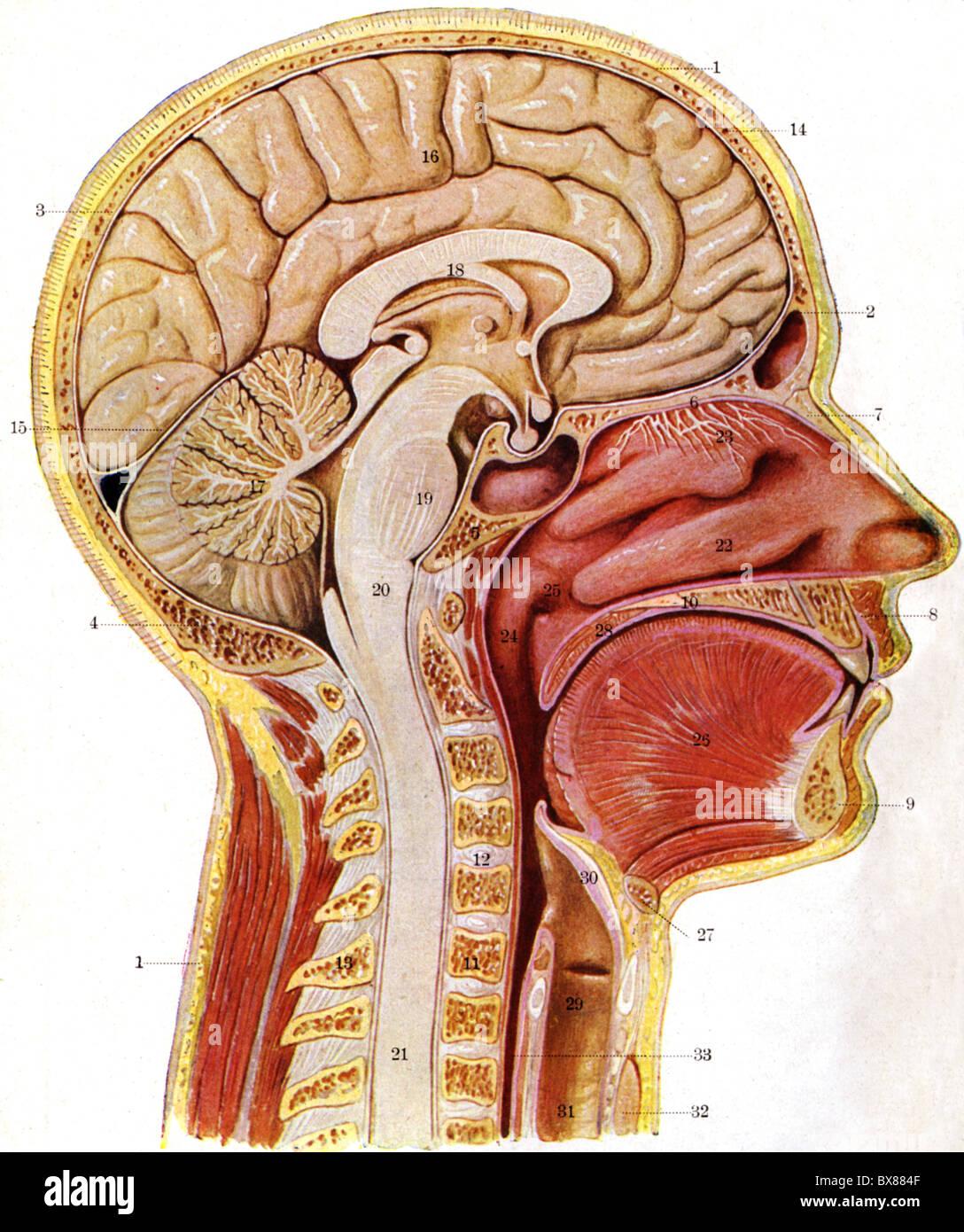 Fein Anatomie Und Physiologie Der Anämie Bilder - Menschliche ...