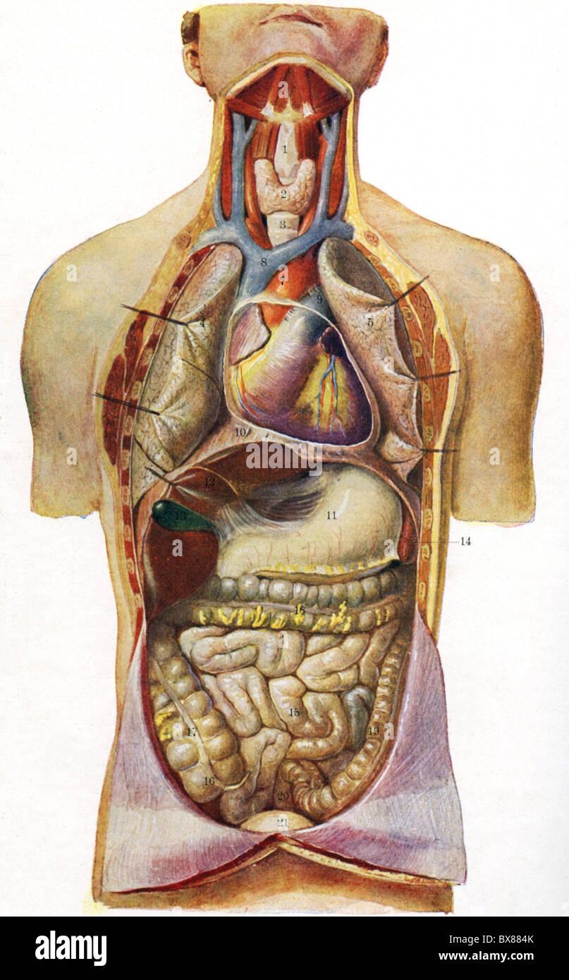 Medizin, Anatomie der menschlichen Brust caity und Bauchhöhle ...