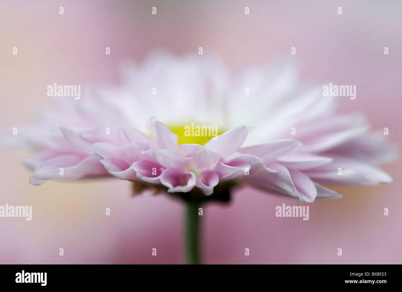 Eine einzelne Englisch Daisy Blume - Bellis perennis Stockfoto