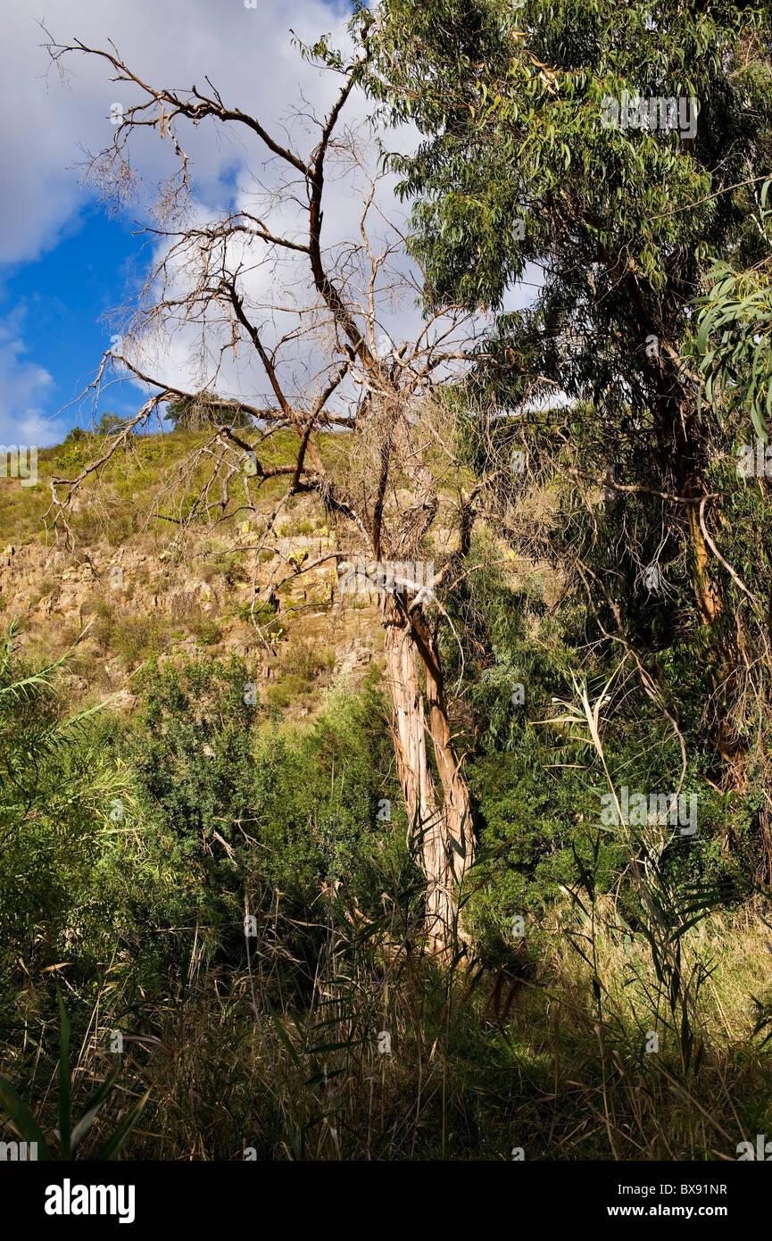 Eukalyptus Gomphocephala Baum mit seiner sehr ausgeprägten Rinde, Spanien Stockbild