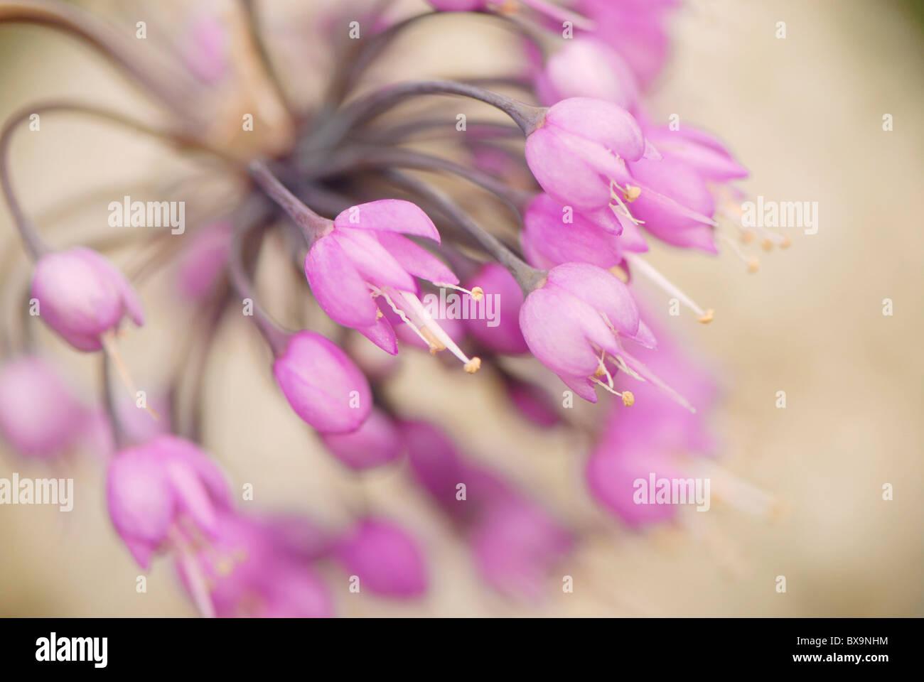 Allium Cernuum - nickte Zwiebel, Lady es Lauch RHS AGM Stockfoto