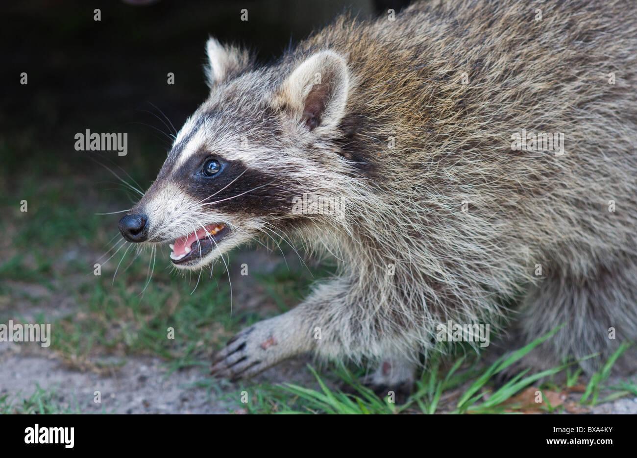 Waschbär Waschbär nachlaufen, zu fangen oder nicht gefangen werden Stockbild