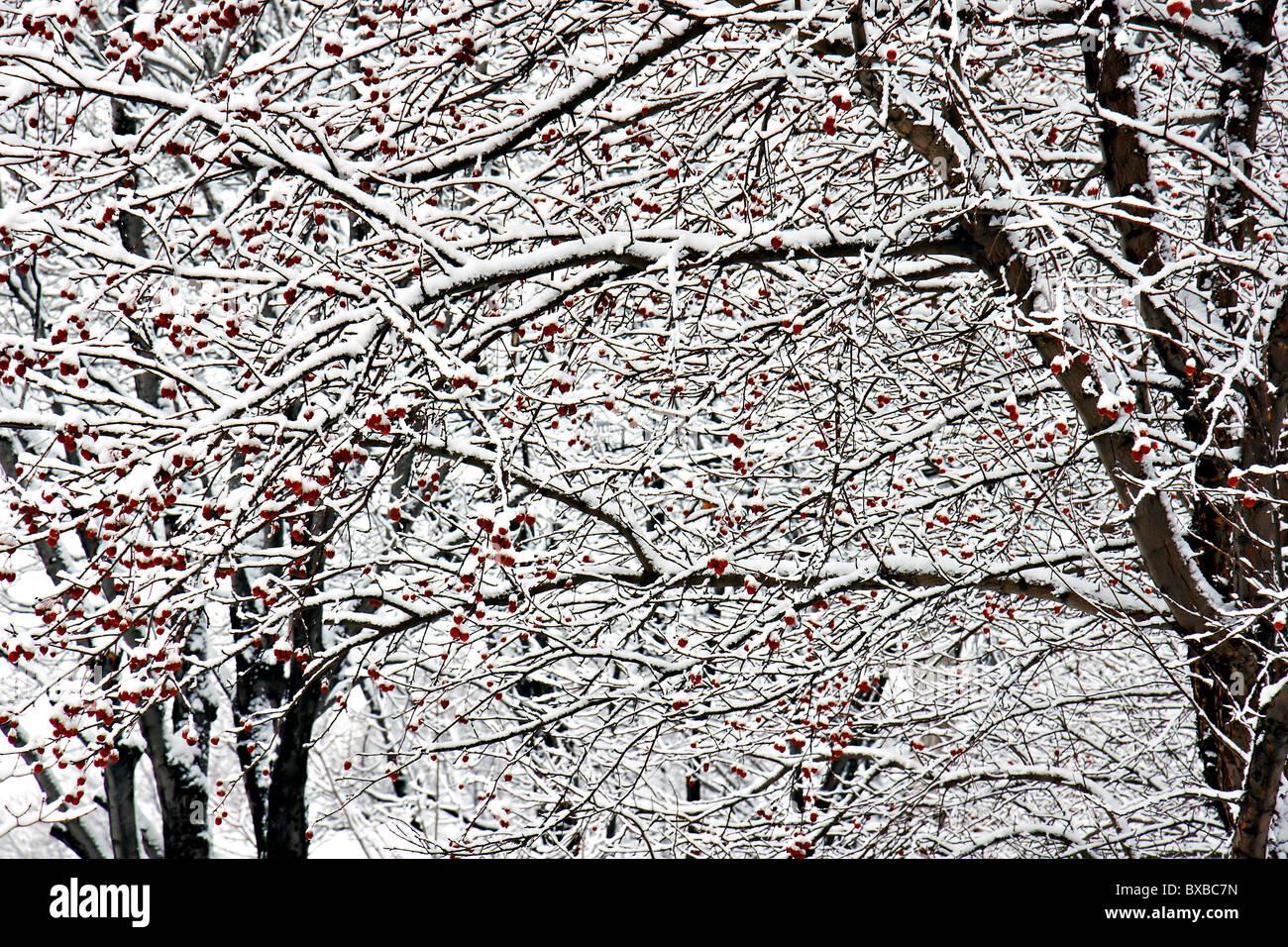 Winter Hintergrund mit Schnee bedeckt Niederlassungen vieler Bäume, kleine rote Früchte trägt. Stockbild